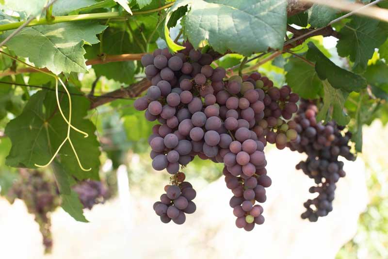 Odom Springs Vineyard
